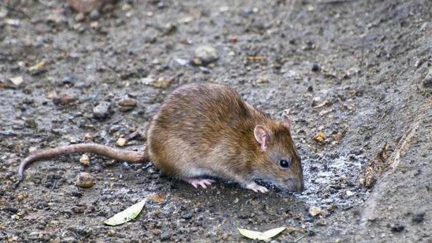 Extermination des rats